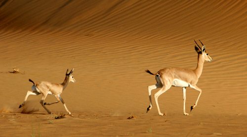 Arabian oryx : males fighting ; mother and calf ; running ; behind