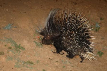 Porcupines are commonly seen at night